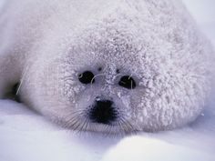 Harp Seal Pup with Snow on Fur by Corbis Harp Seal Pup, Baby Harp Seal, Baby Seal, Amur Leopard, Like Animals, Adorable Animals, Cute Memes, Sea Creatures, Spirit Animal
