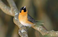 Spectacled Monarch | BirdLife Australia