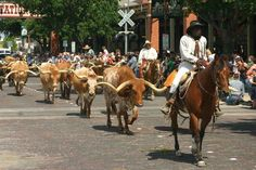 And Fort Worth's herd of Texas-sized Longhorns is so large they have to walk them through town twice a day ! | 13 Things That Prove Bigger Is Better In Dallas-Fort Worth