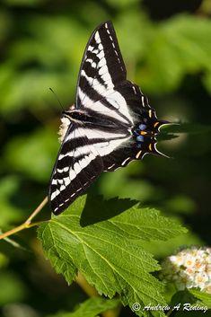 swallowtail on Pacific ninebark blossom