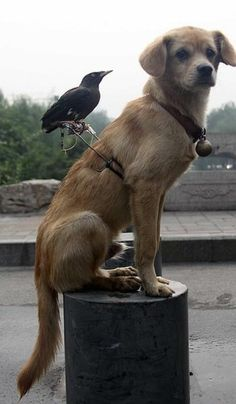 After spending a lot of time alone in the same room of the owners house, they grew fond of each other. The crow is almost always on the dog's back, the dog even barks when people try to touch his pal.  The owner built a custom harness for more comfortable rides.