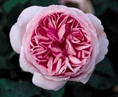 Mme Ernst Calvat - Ludwigs Roses | (Bourbon) Large, pale rose-pink blooms with a strong perfume. Will flower repeatedly.