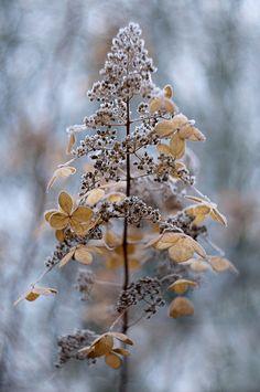 Vipphortensia, Hydrangea paniculata – den vackra papperslika vinterformen klädd i frost.  Jacky Parker on 500px