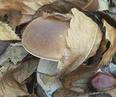 Questo porcino si mimetizza tra le foglie e le castagne