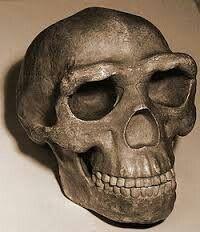 Una característica de los Homo Erectus es su forma del cráneo, baja y angular; un marcado toro supraorbitario; una frente marcada huidiza; y la anchura mayor en una posición muy baja. El volumen craneal muy variable, pero fue aumentando a lo largo de la historia.