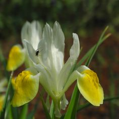 Großartige Schwertlilie Bluete gelb Iris magnifica