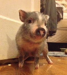 Fern. Mini pig extraordinaire!