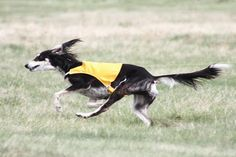 Feathered Saluki coursing!