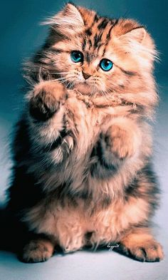 Top 5 of the Most Affectionate Cat Breeds Top 5 des races de chats les plus affectueuses Animals And Pets, Baby Animals, Funny Animals, Cute Animals, Funniest Animals, Spring Animals, Animals Photos, Wild Animals, Pretty Cats