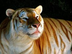 A Rare Golden Tiger, Strawberry Tiger or Golden Tabby Tiger. Rare Animals, Animals And Pets, Wild Animals, Beautiful Cats, Animals Beautiful, Gato Grande, Amor Animal, Carnivore, Animal Facts