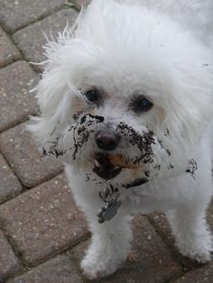 Bichon.....  they do love to dig in the dirt
