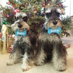 These two are called buster and bolter two Amazing mini schnauzers that have an account on instagram that is called Buster40k go and check it out :-)