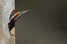Lineated Woodpecker (Pica-pau-de-banda-branca) | Male Scient… | Flickr