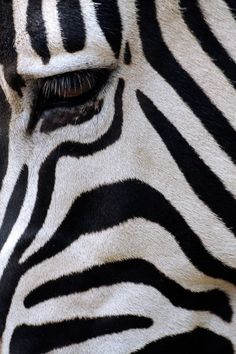 We couldn't finish the week without sharing nature's most perfect black and white.   The zebra's background color is black, and the white stripes and bellies are additions. Each striping pattern is unique to each individual zebra. #BlackandWhiteDoneRight