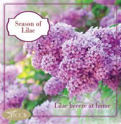 Lilac always have a beautiful scent and peaceful breezes. If you put a lilac in your saloon, you can see tranquility atmosphere at home.