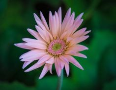 Barberton Daisy Photo by Bronwyn Chelius — National Geographic Your Shot