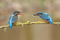 https://flic.kr/p/Quvnb8 | Kingfisher (Alcedo atthis) | One of my favourite shots of 2016  It is actually one of twenty that I took of the male Kingfisher slowly making his way along the perch offering a fish to the female.  It was a simple shot when the opportunity finally arrived, but it was the preparation beforehand that makes it stand out for me.  I heard of a Kingfisher being seen regularly on a pond near my house. I know the farmer well and quickly got permission to build a hide…