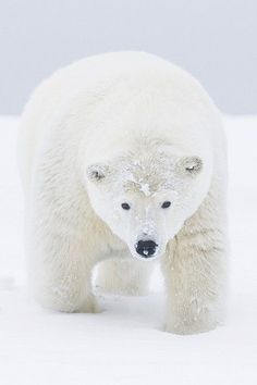 Polar bear (Ursus maritimus) portrait of curious young male, covered in snow from rolling around / playing. On a barrier island during autumn freeze up, the Arctic National Wildlife Refuge, Alaska. photo by Steven Kazlowski Vida Animal, Mundo Animal, Black Bear, Brown Bear, Beautiful Creatures, Animals Beautiful, Animals And Pets, Cute Animals, Love Bear