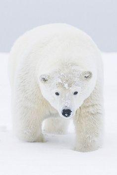 wolverxne:  Curious young polar bear - by: (Steven Kazlowski)