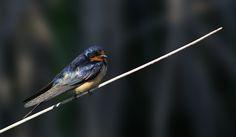 Barn Swallow, Photo by Allan Woodhouse