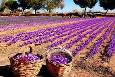 Recogida del azafran (saffron) . Spain