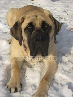 English Mastiff - Best dog in the world! I can't wait to have another one...