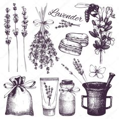 Vector set of ink hand drawn lavender illustration. Vintage collection of lavender flowers sketch