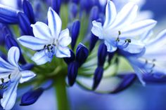 Agapanthus, Fragrance, Garden, Flowers, Plants, Garten, Lawn And Garden, Gardens, Plant