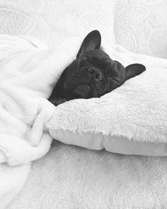 #madrigthefrenchie #frenchie #frenchbulldog #babyiscoldoutside #sleeping #sleepyboy #blackandwhite #dog #cute