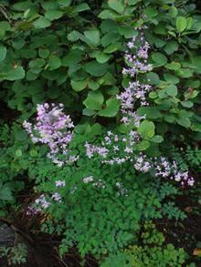 THALICHTRUM delavayi (dipterocarpum) - Violfrøstjerne (MS)