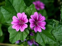 Malva Sylvestris 'Zebrina' Seeds (Tall Mallow) - Oleoliti fatti in casa - Plantio Cut Flowers, Wild Flowers, Bee Friendly Plants, Best Edibles, Cotton Plant, Seed Pods, Flowers Perennials, Medicinal Plants, Health Tips