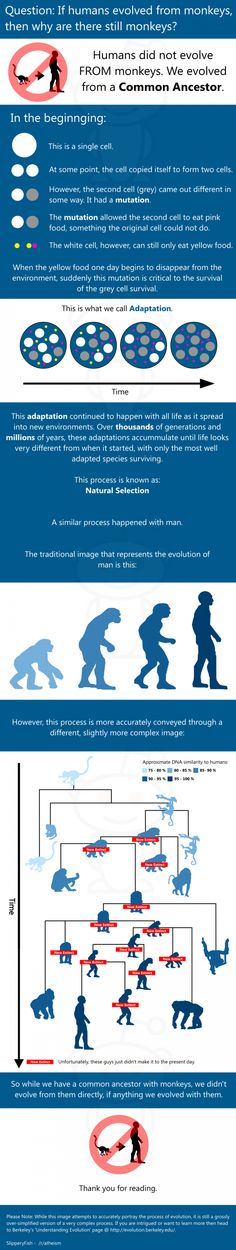 """Evolution info-chart to answer the most popular evolution question: """"Why are there still monkeys?"""""""