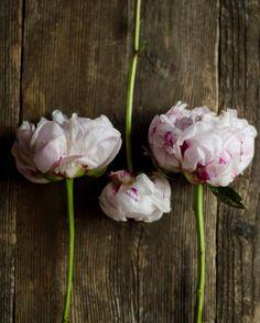 pink peony art rustic flower art farmhouse decor by dullbluelight