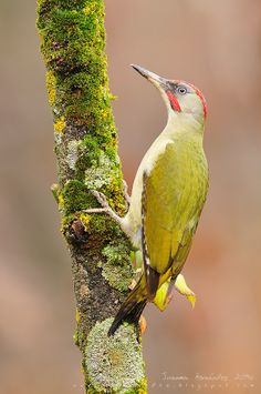 Exotic Birds, Colorful Birds, Shades Of Gold, Shades Of Green, Pretty Birds, Beautiful Birds, Green Woodpecker, All Birds, Bird Pictures