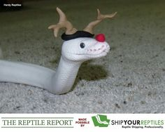 Pictures of cute snakes with hats that will make your day brighter. Not only that, you will know what is the best small pet snakes for beginner. Snakes With Hats, Baby Snakes, Cute Funny Animals, Cute Baby Animals, Animals And Pets, Pretty Snakes, Beautiful Snakes, Best Small Pets, Cute Reptiles