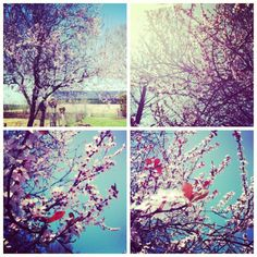 cherry blossoms with a robin egg blue background? I like! would be a gorgeous watercolor!