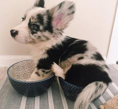 Fluffy Blue Merle Corgi Puppy