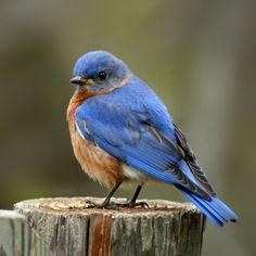 ♥ Bluebirds.