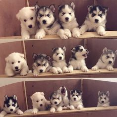See more Beautiful Siberian Husky Dog photos,. - Where Is My Husky - Husky Beautiful, Funny Momment Photos Cute Husky Puppies, Siberian Husky Puppies, Rottweiler Puppies, Husky Puppy, Siberian Huskies, Dogs And Puppies, Doggies, Malamute Husky, My Husky