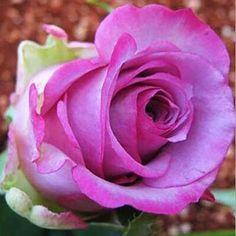 200 pcs Rare Holland Rainbow Rose Flower bonsai Home Garden Rare Flower plant 24 color rainbow Rose flores,rose flower seedlings Rare Roses, Rare Flowers, Unusual Flowers, Flowers Perennials, Planting Flowers, Potted Flowers, Flower Seeds, Flower Pots, Climbing Flowers