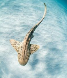 A favourite moment from last year on the Ningaloo Reef. There are few animals I find as stunning to photograph than the endangered leopard shark (aka zebra shark). Underwater Animals, Underwater Creatures, Ocean Creatures, Underwater World, Zebra Shark, Leopard Shark, Shark Art, Shark In The Ocean, Small Shark