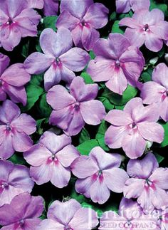 Impatiens-Tempo Blue Satin