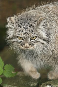 Pallas Cat by Rose Smith