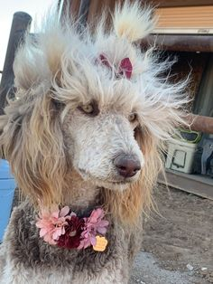 From Ginger and Bandit's Dec 2018 litter Poodle Hairstyles, Poodle Haircut, Phantom Poodle, Arm Tattos, Baby Animals, Cute Animals, Standard Poodles, Dog Rules, Greyhounds