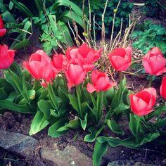 #Tulips | fotonda.de