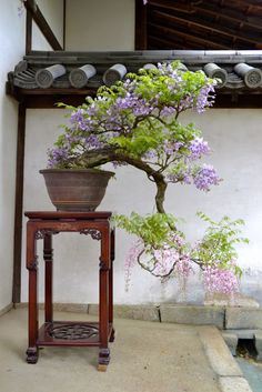 Growing bonsai from their seeds is essentially growing a tree from its seed. Get tips and guidelines on how to grow your first bonsai from its seed phase. Wisteria Bonsai, Flowering Bonsai Tree, Bonsai Tree Care, Bonsai Tree Types, Indoor Bonsai Tree, Bonsai Plants, Bonsai Garden, Ikebana, Plantas Bonsai