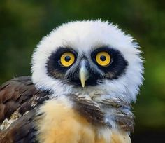 Spectacled owlet - Living mostly in dense jungles or wooded areas in Mexico (as well as Central and South America)