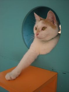 Maisy is a sweetheart that enjoys sleeping in her blue cubby and emerging enthusiastically to be pet! #catscradle
