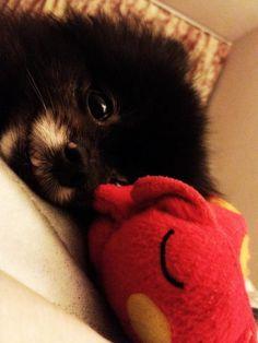 black pomeranian dog