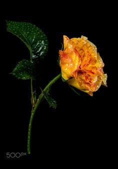 orange rose in the rain by pinarelloherbert Hybrid Tea Roses, Orange Roses, Macro Photography, Mother Nature, Rain, Amazing, Pretty, Plants, Merry Christmas